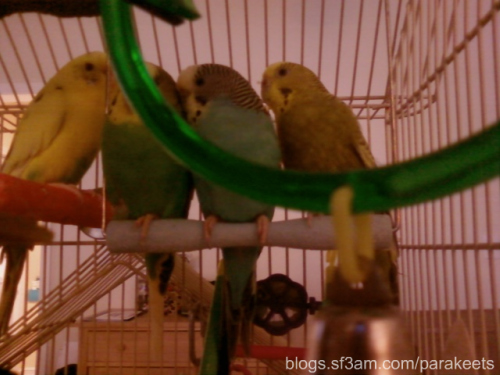 the four parakeets