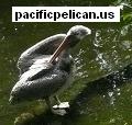 pacificpelican.us